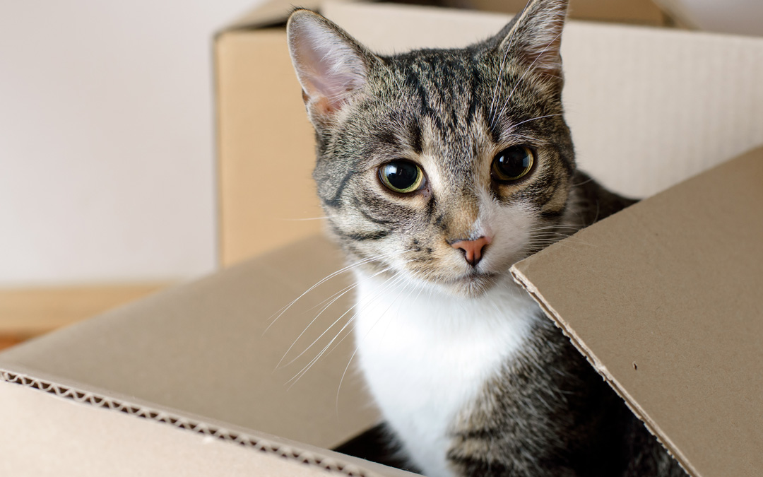 7 Loveable Reasons (& 2 Videos!) Why Cats Love Boxes